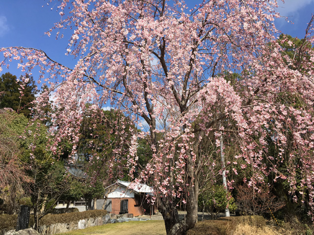 三ツ木八幡神社のしだれ桜