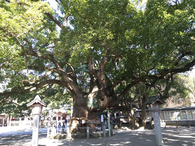 徳島・大麻比古神社(大楠)